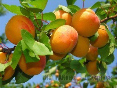 Несколько полезных советов по уходу за абрикосами