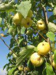 Сделать все для спасения любимой яблони - это, конечно, прекрасно.