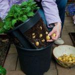 Выращиваем картофель в мешках