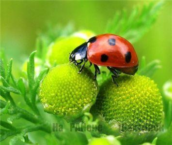 Разведение полезных насекомых: божья коровка, уховертка и другие