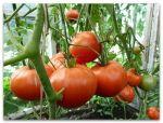 10 ошибок при уходе и высадке помидоров
