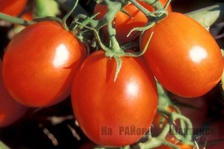 Фитoфтора: как избавить томаты от злостного недуга