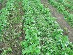 Что мешает расти картофелю?